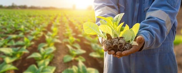 Thaise landbouwkundige die groene tabak op het gebied planten Premium Foto