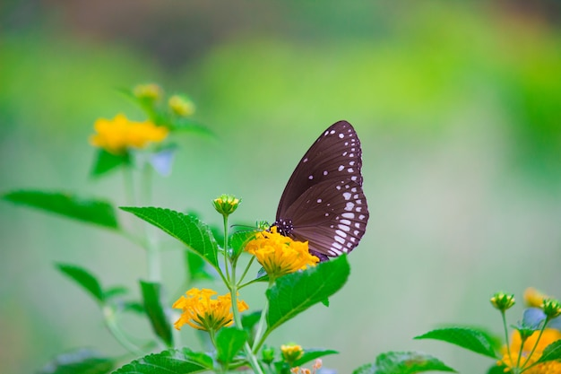 The common crow butterfly Premium Foto