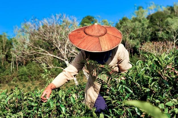 Thee landbouwer thee plukken bladeren. Premium Foto