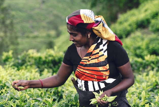 Theearbeider het plukken theebladen in een aanplanting Premium Foto