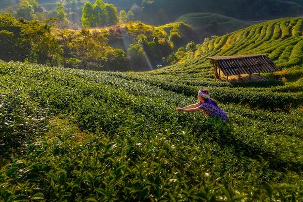 Theeboeren verzamelen 's ochtends thee, te midden van bergen en mist. Premium Foto