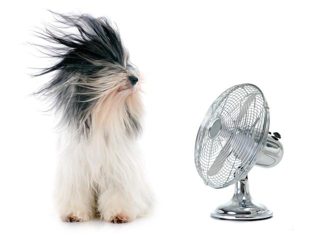 Tibetaanse terriër en ventilator Premium Foto