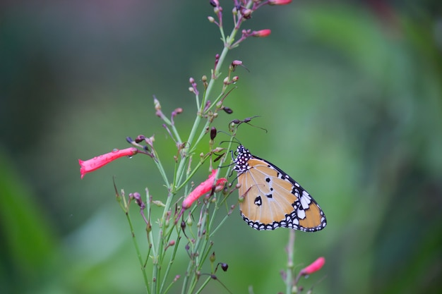 Tiger butterfly op de bloeminstallatie Premium Foto