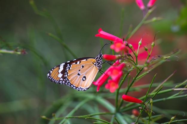 Tiger butterfly op de bloemplanten Premium Foto