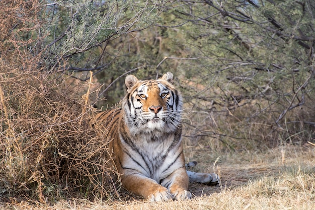 Tiger lying onder een baldakijn Premium Foto