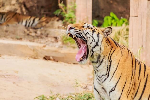 Tijger geeft een grote geeuw met tong en tanden Premium Foto