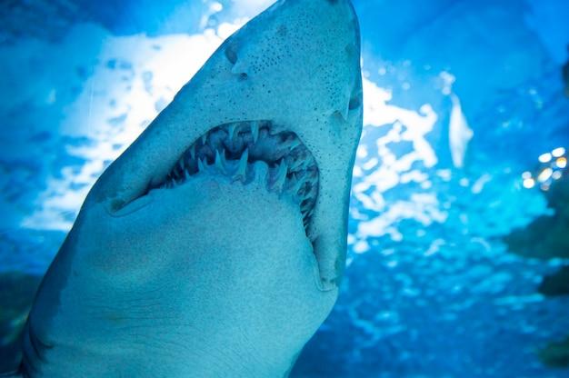 Tijgerhaai in zeewater. grote haai in diepblauw water. Premium Foto