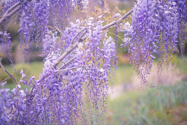 Tot bloei komende wistariatak in de lentetuin. Premium Foto