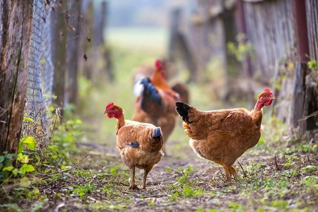 Troep van twee rode kippen en haan in openlucht op heldere zonnige dag op vage kleurrijke landelijke aard. landbouw van gevogelte, kippenvlees en eierenconcept. Premium Foto