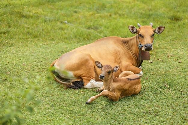Tropische lichte aziatische koe met een kind rusten liggend op een groene weide. Premium Foto