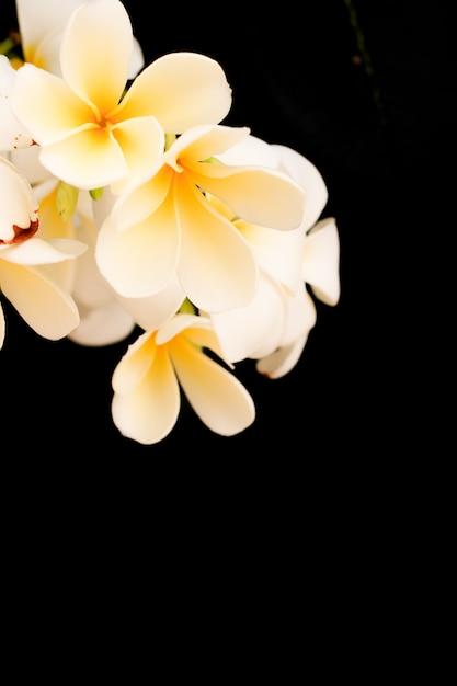 Tropische plumeria Premium Foto
