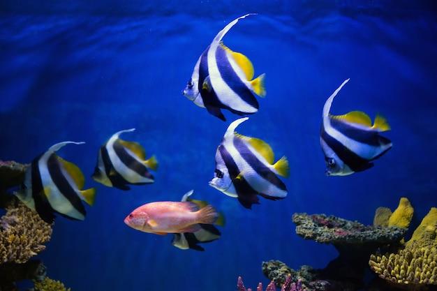 Tropische vissen zwemmen in de buurt van koraalrif. selectieve aandacht Premium Foto