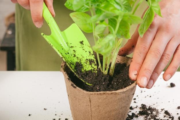 Tuinieren, planten thuis. vrouw verhuizen spruit kamerplant Premium Foto