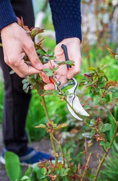Tuinman snoeien rozen in de tuin. selectieve aandacht. natuur. Premium Foto