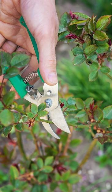 Tuinman snoeien rozen in de tuin. Premium Foto