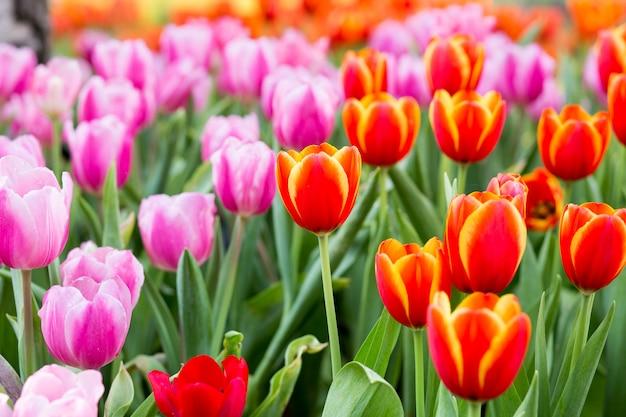Tulp bloemenvelden Premium Foto