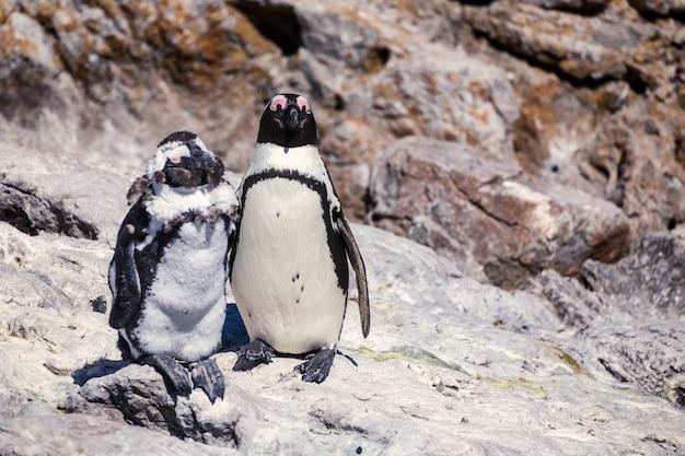 Twee afrikaanse pinguïnen die zich de rots bevinden - de knappe foto van het vriend en lelijke vriendenconcept Premium Foto
