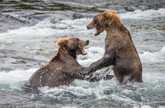 Twee bruine beren spelen met elkaar in het water Premium Foto