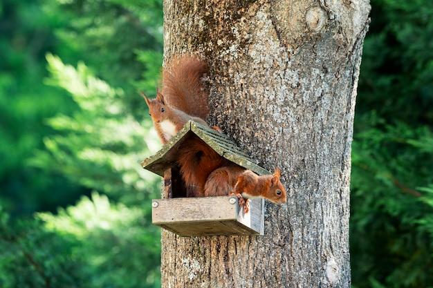 Twee eekhoorns op een boom in de tuin Premium Foto