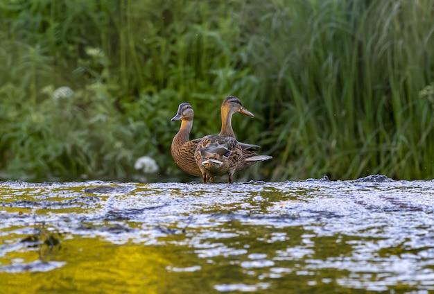 Twee eenden in rivierwater Gratis Foto