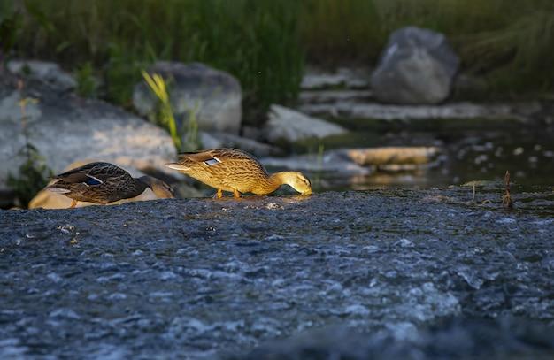 Twee eenden op zoek naar voedsel in rivierwater Gratis Foto