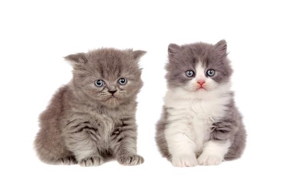 Twee grappige grijze katten die omhoog camera bekijken Premium Foto