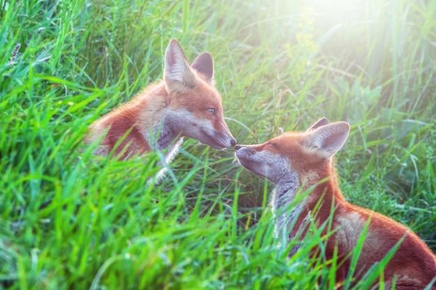 Twee grappige kleine vospuppies spelen op groene weide in de ochtendzon Premium Foto