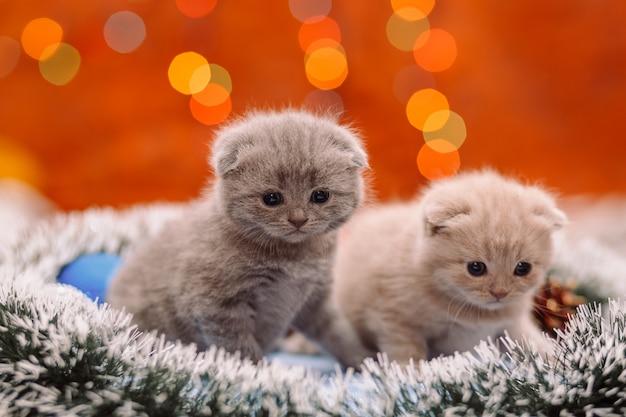 Twee grappige schotse katjes op de glanzende achtergrond Premium Foto