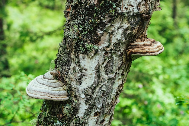 Twee grote witte polyporen groeien op een diagonale berkenboom. witte tondelzwam op close-up van de boomstam in zonlicht. fomes fomentarius op schors op bokehbos. grote polypores op zonnig groen. Premium Foto
