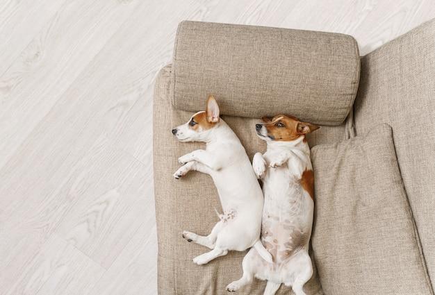 Twee honden die op een beige bank thuis slapen. Premium Foto