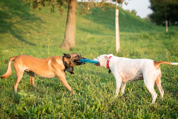 Twee honden spelen met vliegende schijf in het park Gratis Foto