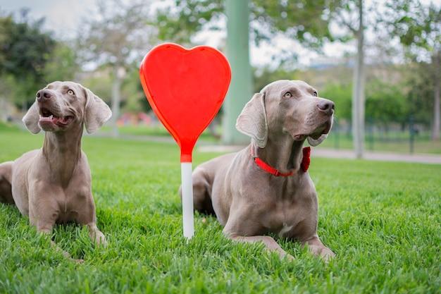 Twee honden van weimaraner fokken zittend in het groene gras van het park  en een mooi en groot rood hart in het midden. | Premium Foto