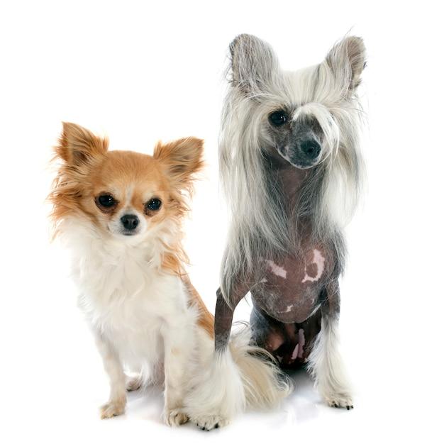 Twee kleine honden Premium Foto