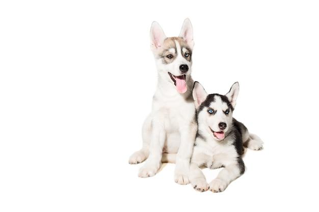 Twee kleine schattige puppy van siberische husky hond met blauwe ogen geïsoleerd. mooie pups Premium Foto