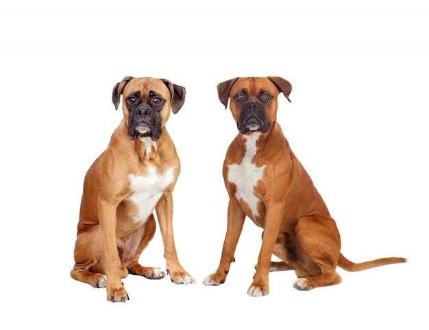 Twee mooie bokserhonden zitten Premium Foto