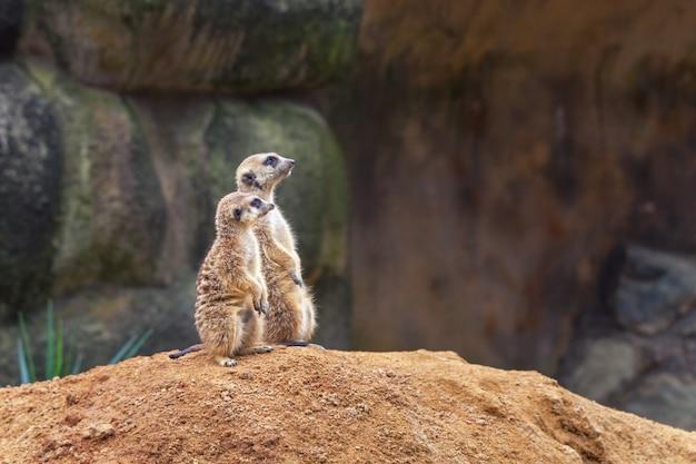 Twee nieuwsgierige stokstaartjes staan op hun achterpoten op een zandige heuvel en kijken weg. Premium Foto