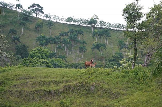 Twee paarden die zich op een grasrijke heuvel in afstand met bomen in de dominicaanse republiek bevinden Gratis Foto