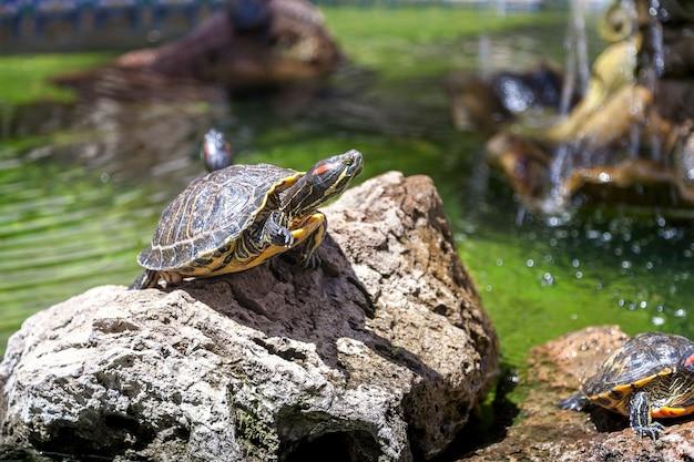 Twee schildpadden, op de rotsen, verlicht door de zon Gratis Foto