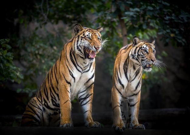 Twee tijgers ontspannen in de natuurlijke omgeving van de dierentuin. Premium Foto