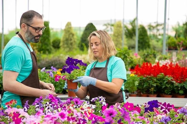 Twee tuinlieden die in schorten petunia's in kas kweken. professionele serieuze tuinwerkers die voor mooie bloemen zorgen. blonde vrouw met pot in kas. tuinieren activiteit en zomer concept Gratis Foto