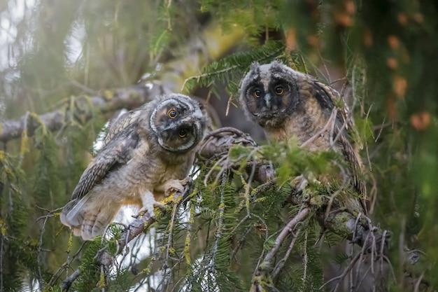 Twee uilen zittend op een tak en camera kijken Gratis Foto
