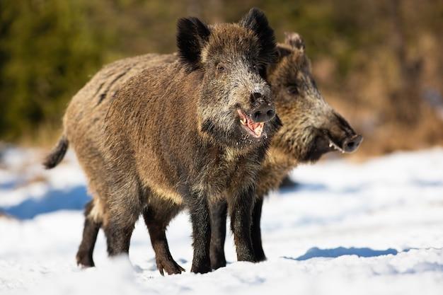 Twee wilde zwijnen, sus scrofa, die zich op weide in de winter zonnige aard bevinden. paar bruine zoogdieren die op sneeuwgebied voeden met zonlicht. harige dieren kauwen en rondkijken in de sneeuw. Premium Foto
