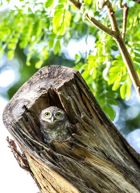 Uil (gevlekte owlet) in holtenaard Premium Foto