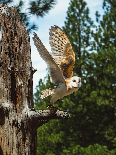 Uil op een boomtak met uitgespreide vleugels, op het punt om te vliegen, in het high desert museum Gratis Foto