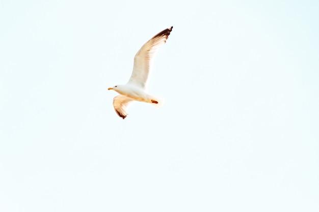 Upshot van een zeemeeuw die boven op een zonnige dag met duidelijke blauwe hemel vliegt Gratis Foto