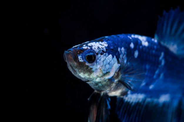 Vechtende vis (betta splendens) vis met een mooie Premium Foto
