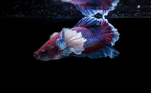 Vechtende vis (betta splendens) vis met een prachtige reeks Premium Foto
