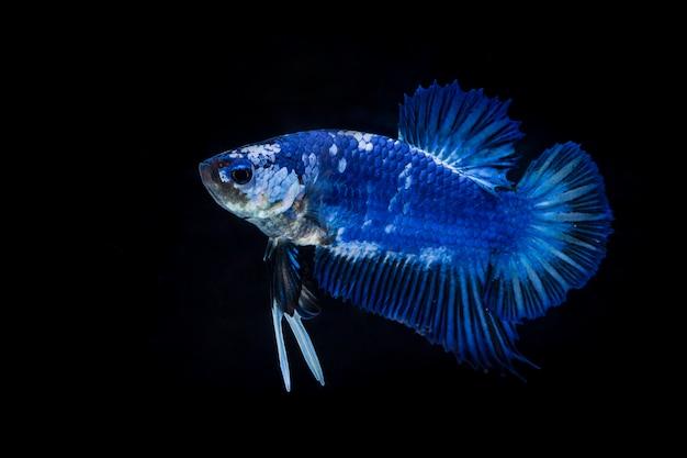 Vechtende vis (betta splendens) Premium Foto