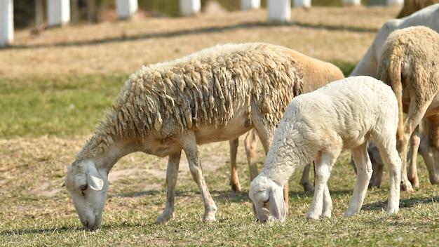 Veeboerderij, kudde schapen Premium Foto