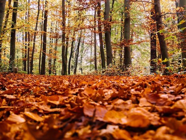 Veel droge herfstesdoornbladeren op de grond gevallen, omringd door hoge bomen Gratis Foto